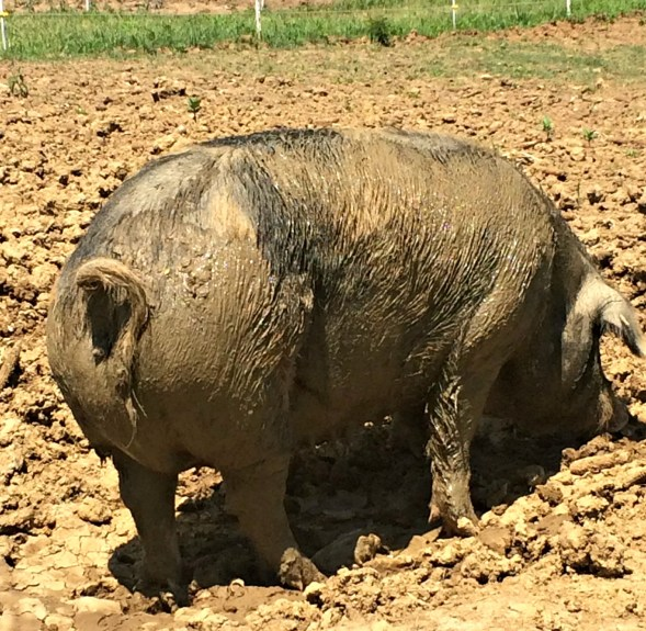 pigs! 4