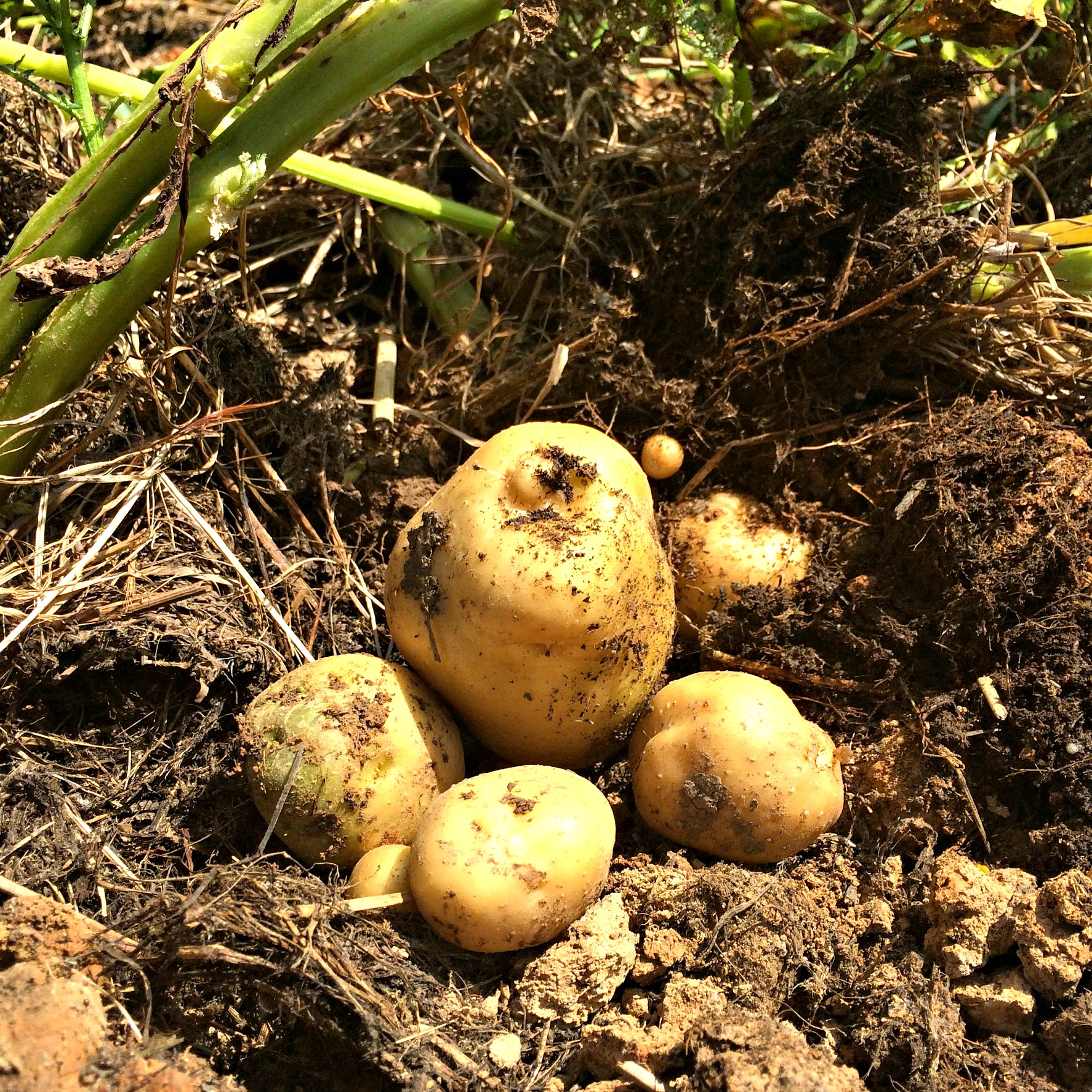 Weeds in flower beds with potato like roots -  Potatoes 9 2