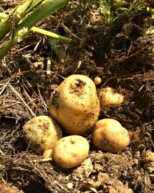 How to Grow Potatoes in a Home Garden