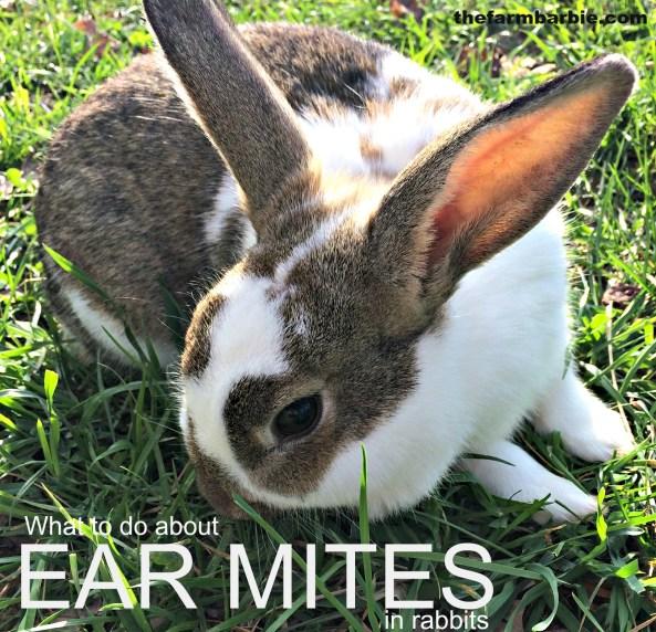 ear mites 8