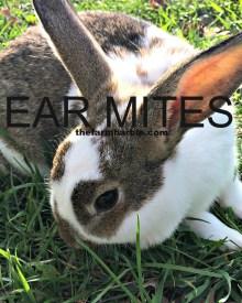 Help-  My Rabbit Has Crusty Ears