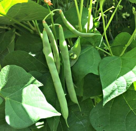 green beans 5