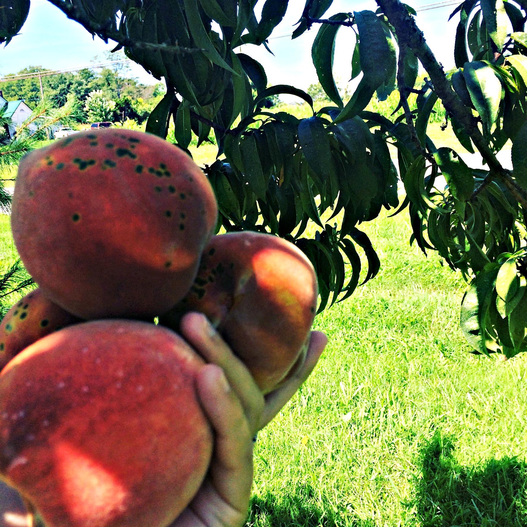 peach tree 1 – Farm Fresh For Life – Real Food for Health & Wellness