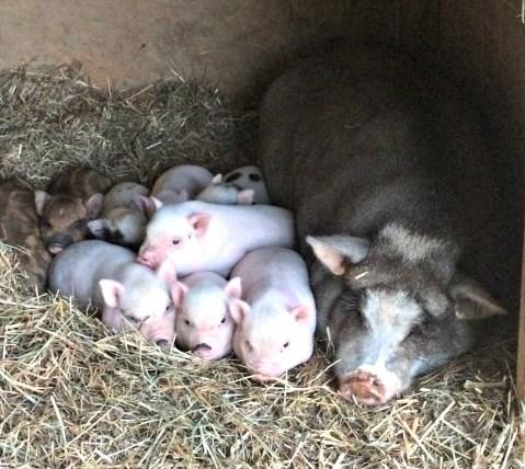 piglets-free-3