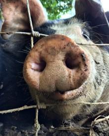 The Best Part About Raising Pigs