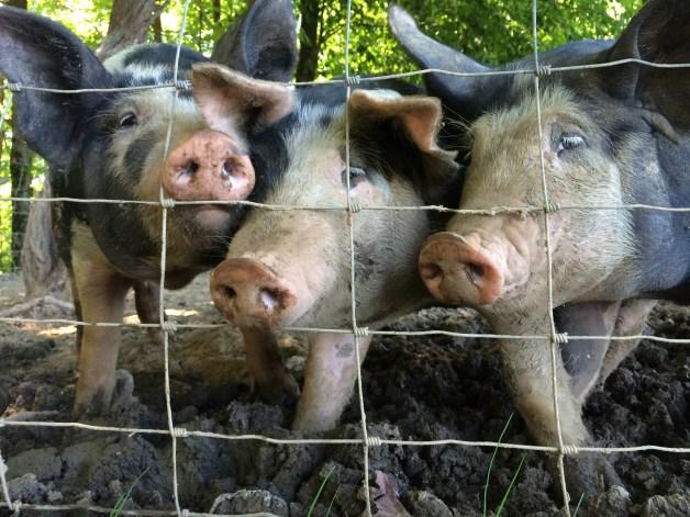 pigs-season-4-5