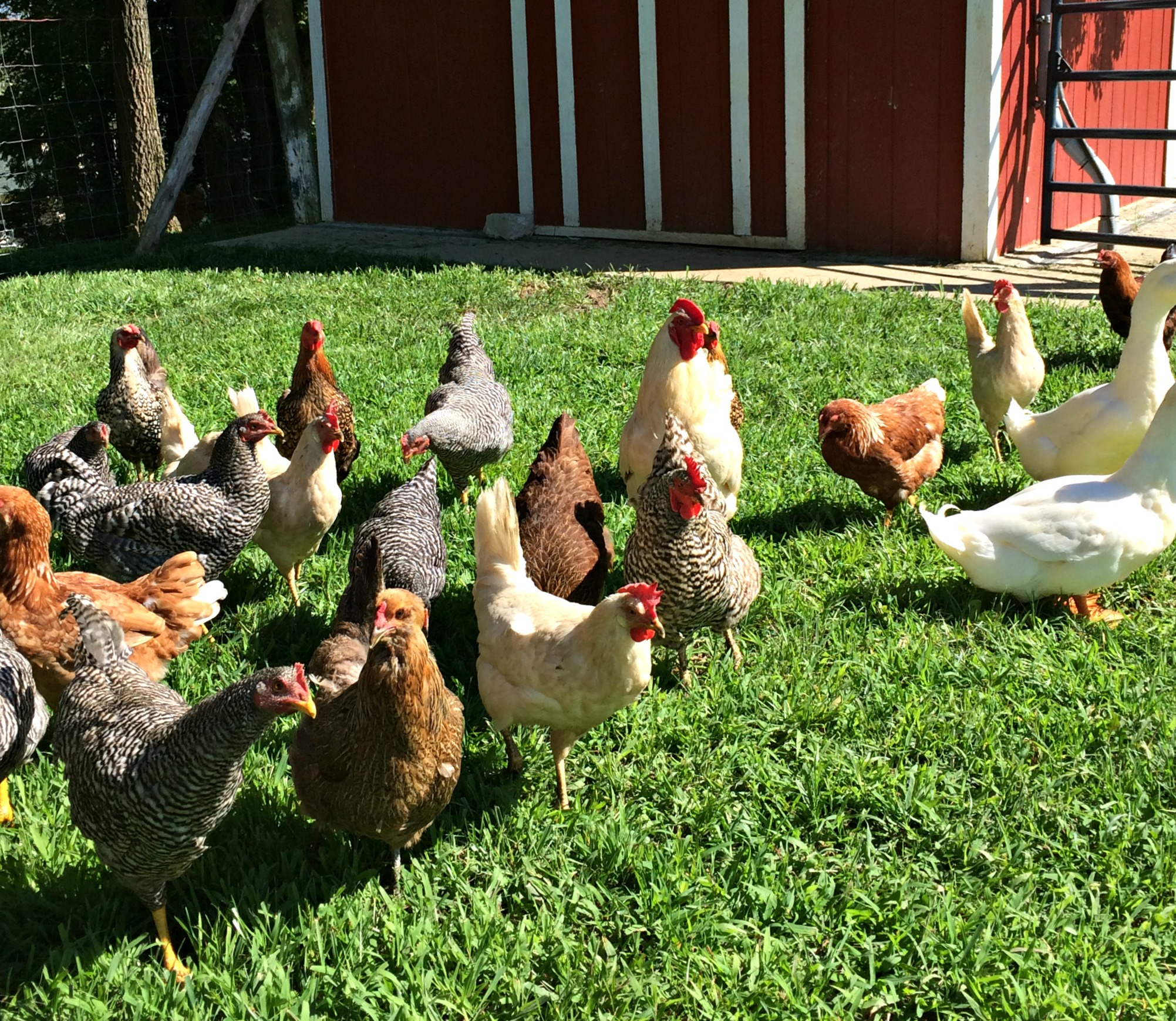 How To Keep Chickens Out Of The Garden Farm Fresh For Life Real Food For Health Wellness
