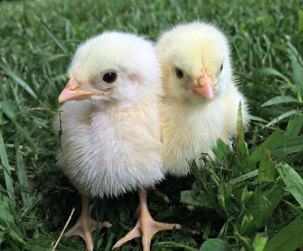 chicken-kill-3-33