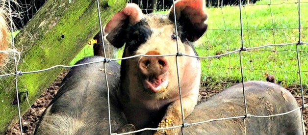 5 Reasons to Get Pigs This Year!