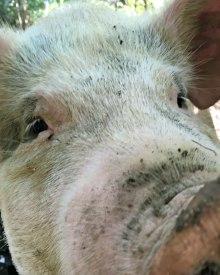 Is Your Pastured Pork Contaminated? (Premium)