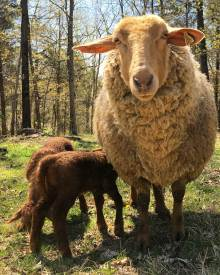 Why Keep Sheep?