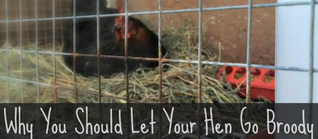 Why You Should Let Your Hen Go Broody