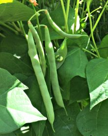How to Grow Green Beans with Big Flavor and No Strings