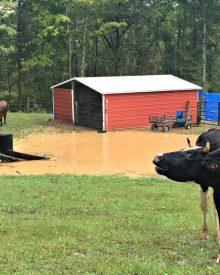 A Peek Behind the Scenes, Gus, Beef Cows, and Lots of Rain (Premium) 9/2018