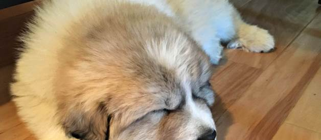 How to Take a Livestock Guardian Dog to the Vet (Premium)