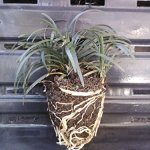 Grass-Dwarf-Mondo-Grass-Ophiopgon-Japonicus-Nana-Tray-of-40-plantplugs-Ideal-for-mass-plantings-and-lining-out-stock-0-0