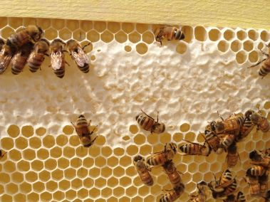 Honey Bees from Brown Dog Farm