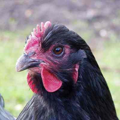 chicken poop, manure, fertilizer, garden, gardening, increasing crop yield, nitrogen, phosphorus, potassium, potash, crop, plant, soil