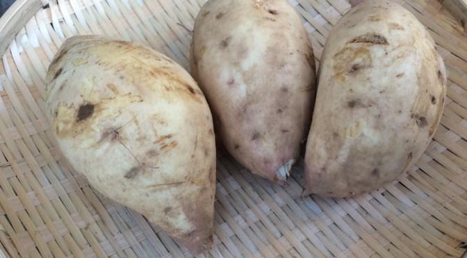干し芋用 の生芋、玉豊販売開始しました。