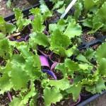有機肥料で野菜を育てよう