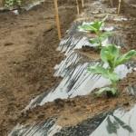 空豆、種付けから一か月