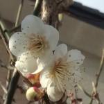 梅の花が咲き始めました。