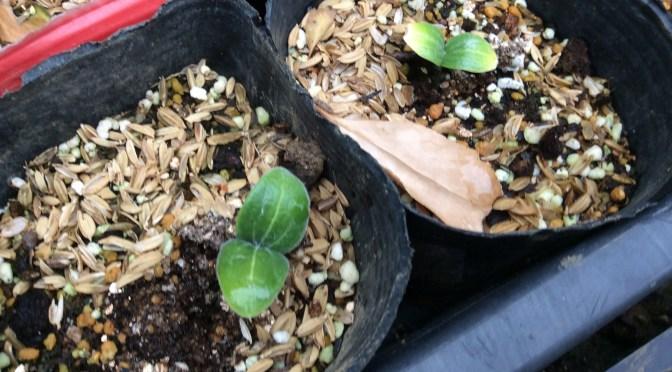 出た出た、夏野菜の芽