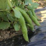 【種付け体験】耕作放棄地に空豆の種を蒔こう-2016年10月1日-