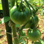 トマトが実り始めました