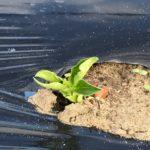 空豆種付けから2週間目-発芽しました