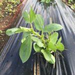 空豆の種付けから6週間目