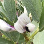 空豆種付けから4カ月ー花が咲きましたー