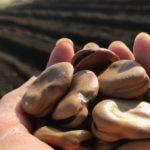 やっと、空豆を蒔きました