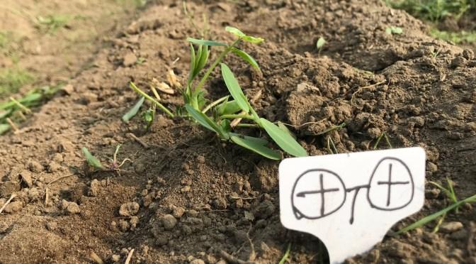 【豆豆体験】種蒔きから二週間ー発芽ー
