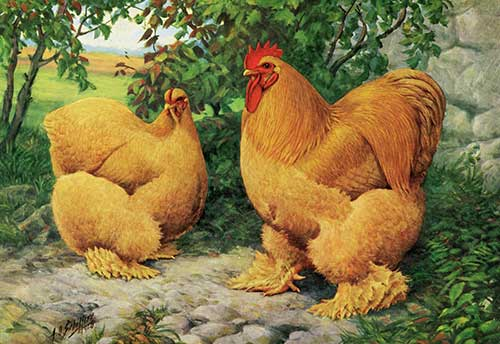 Cochin Chickens: 15 Unbelievable Things You Never Knew
