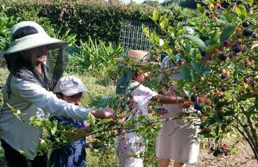 ブルーベリー園での収穫 キーウィ、甘夏、梅などの木々