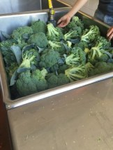 Broccoli being washed and processed.