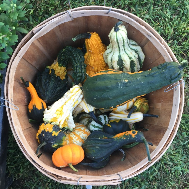 Basket of colorful gourds at Treat Farm stand Orange CT