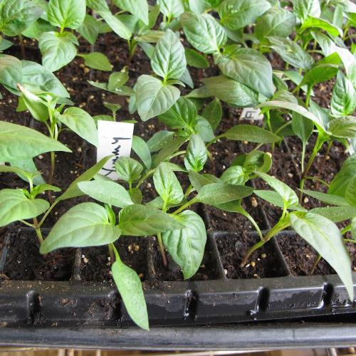 Flat of 4-week old pepper seedlings