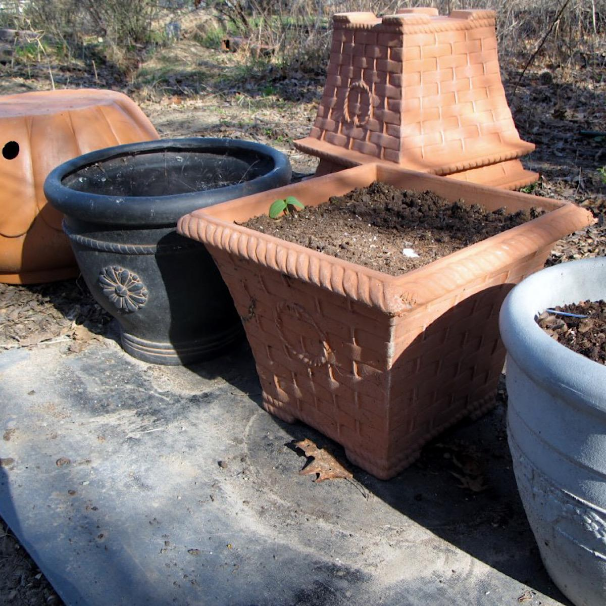 Large pots ready for planting tomatoes