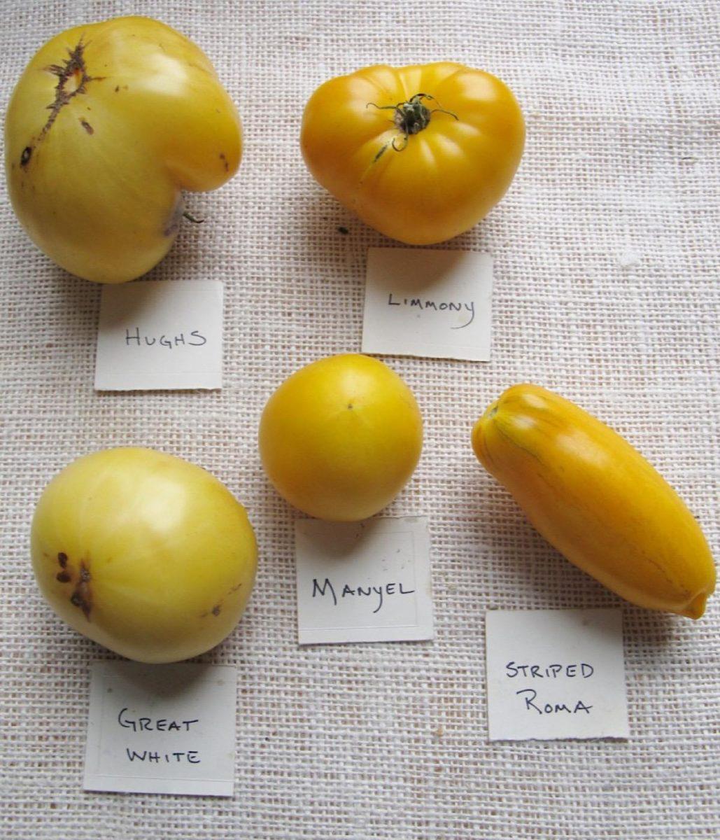 Four popular yellow varieties of heirloom tomatoes