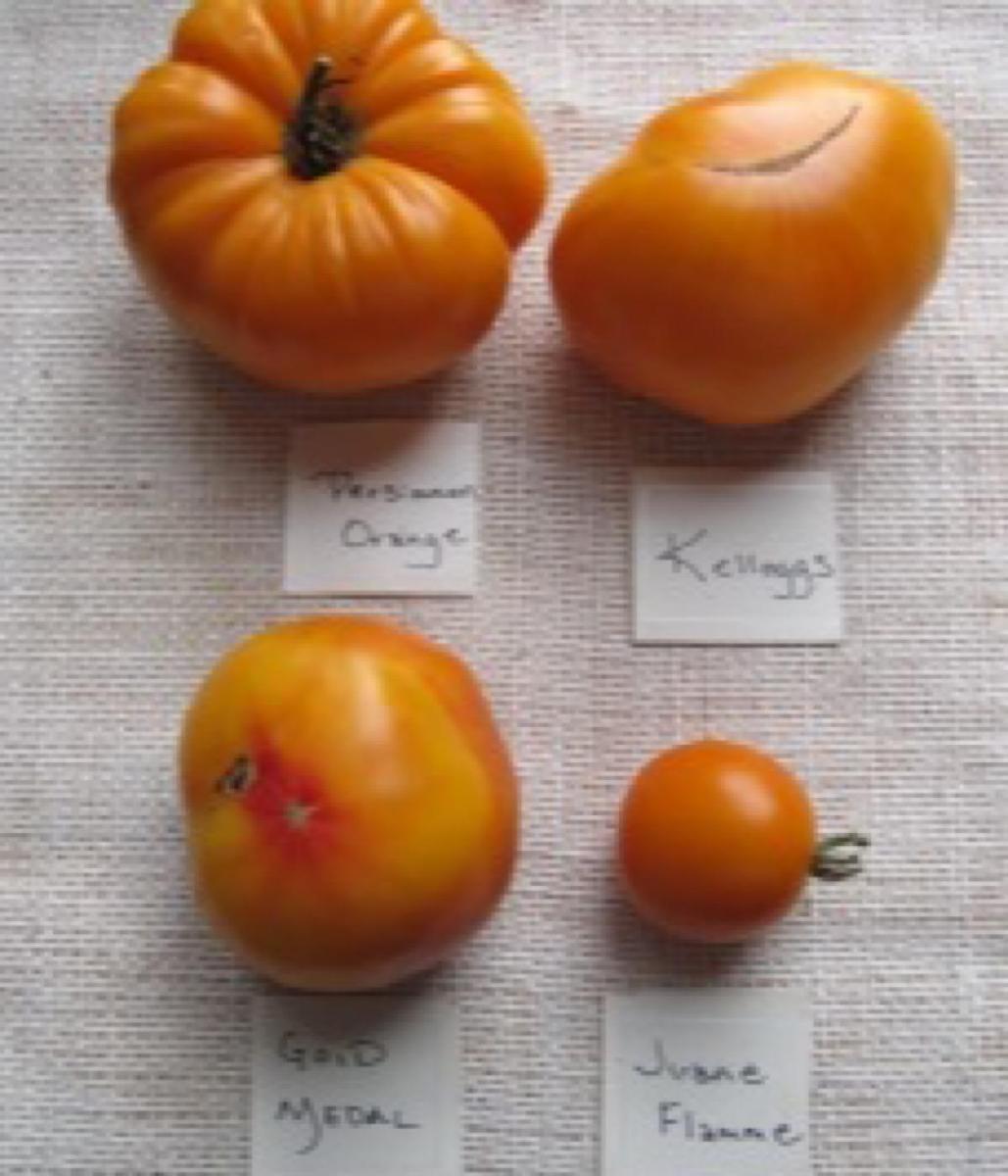 Four popular orange varieties of heirloom tomatoes