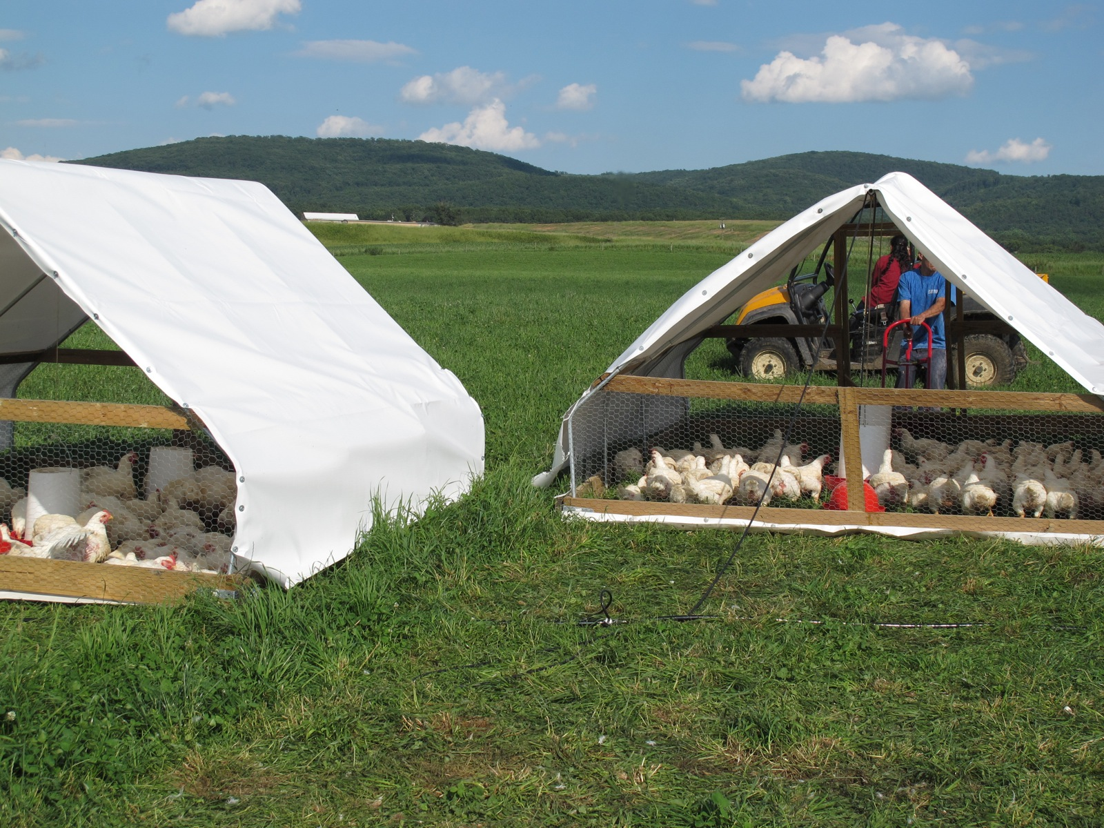 Broilers (Meat Hens)