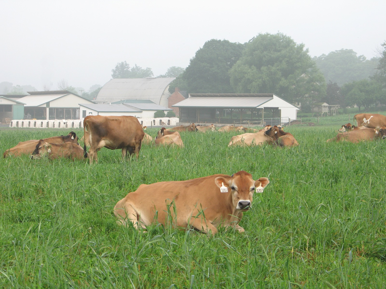 Grass-fed Jerseys