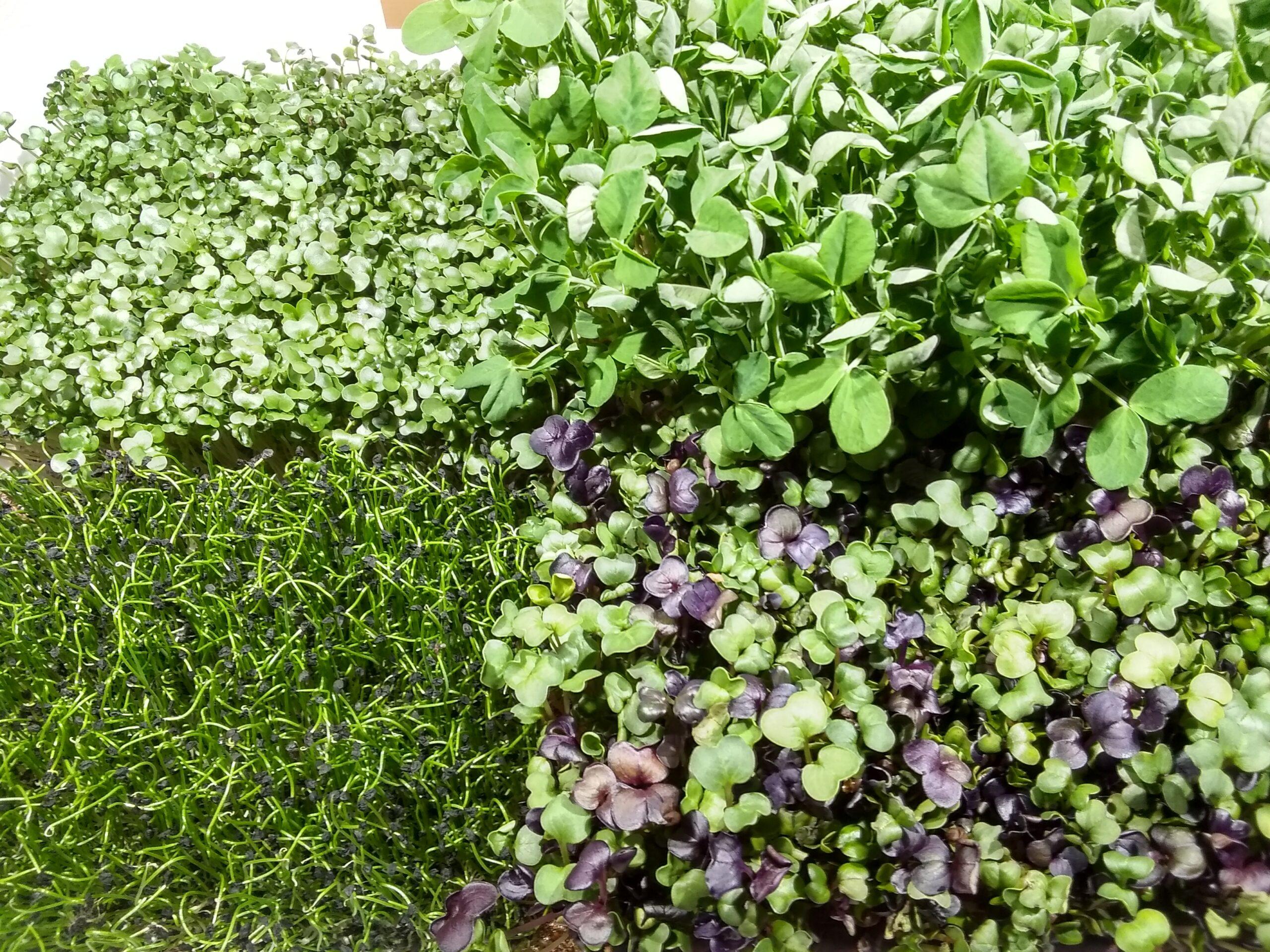 Broccoli, peas, leeks and radish are ready to eat!