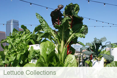 lettuce_collections