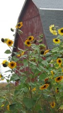 I loved this autumn sensation sunflower mix. Will be growing them again!