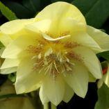 Helleborus x hybridus double primrose