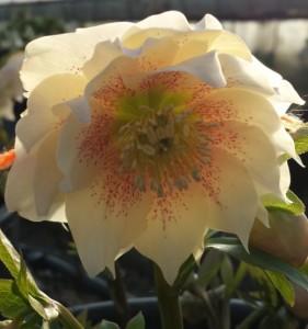 helleborus creamy pink double