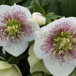 Helleborus x hybridus single white spotted